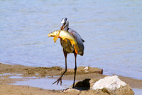 Blue Heron and its lunch